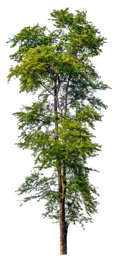 Árbol grande aislado en el fondo blanco, solo árbol de alta calidad foto de archivo libre de regalías