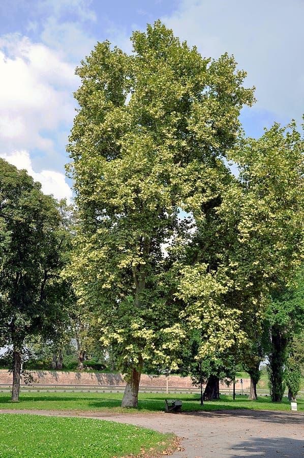 Árbol grande con el banco imagen de archivo libre de regalías