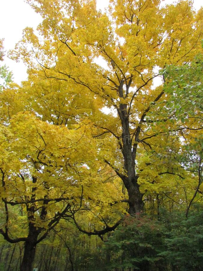 Árbol grande con las hojas amarillas a lo largo del rastro imagen de archivo libre de regalías