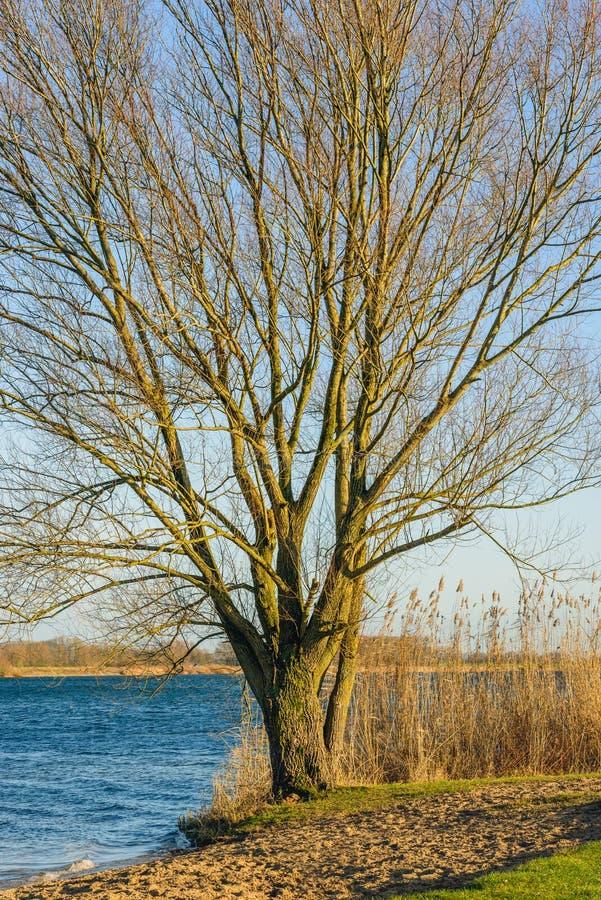 Árbol grande con las ramas deshojadas en los bancos de un río imágenes de archivo libres de regalías