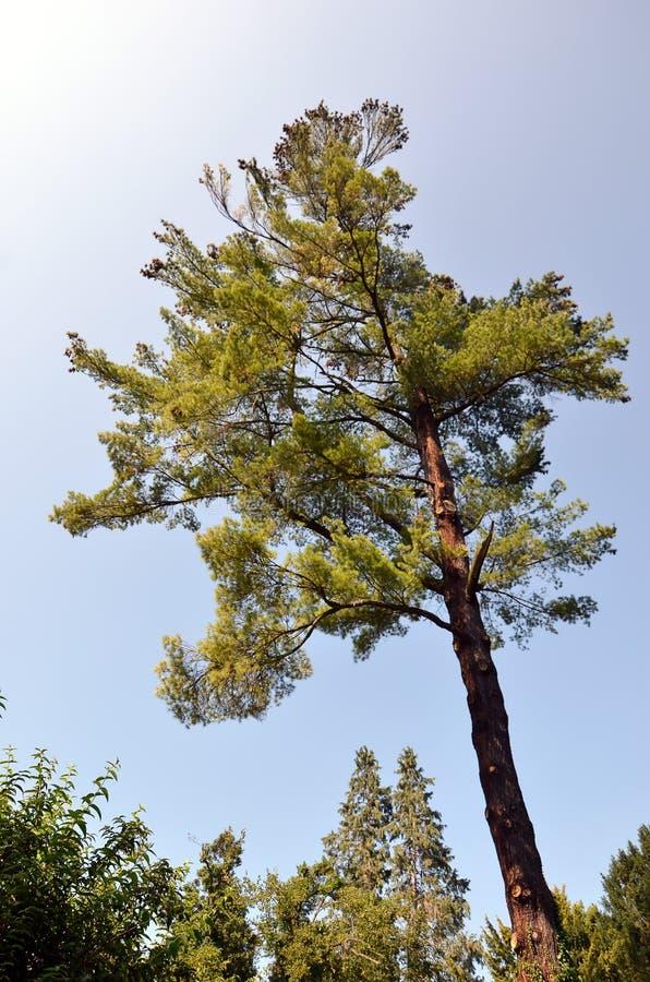 Árbol grande de la conífera en el verano en parque fotografía de archivo libre de regalías