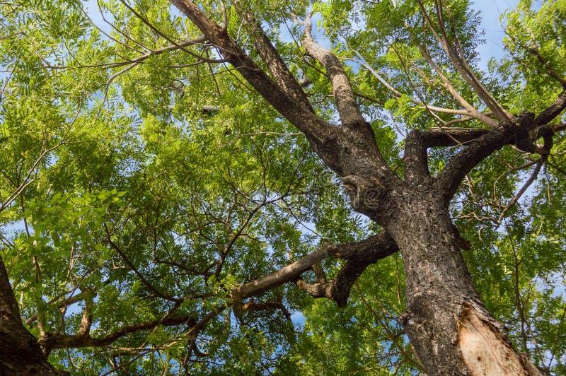 Árbol grande de la rama en jardín de la naturaleza imagenes de archivo
