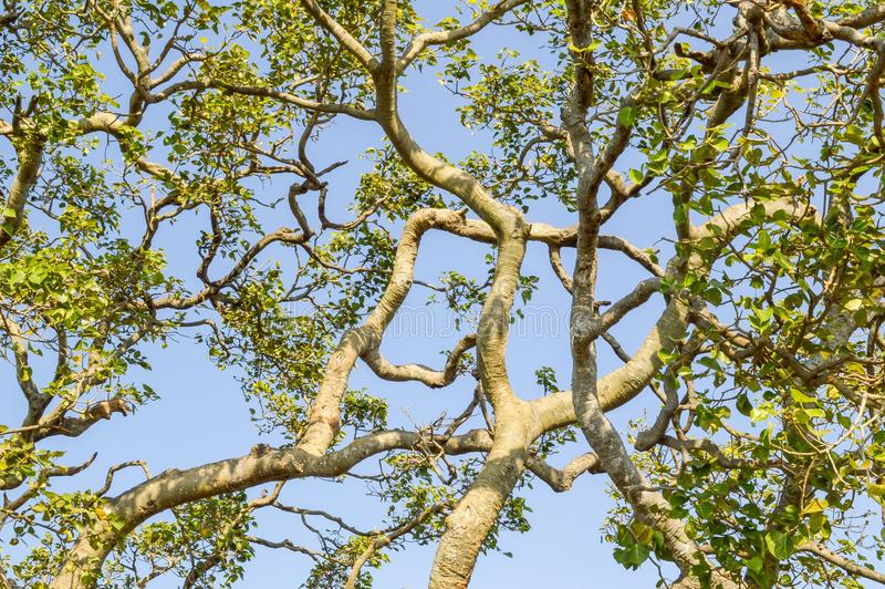 Árbol grande de la rama en jardín de la naturaleza fotos de archivo
