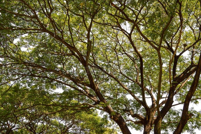 Árbol grande de la rama en jardín de la naturaleza foto de archivo libre de regalías