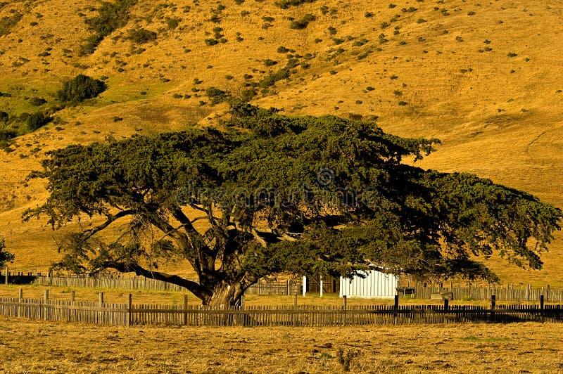 Árbol grande de Sur Cypress foto de archivo libre de regalías