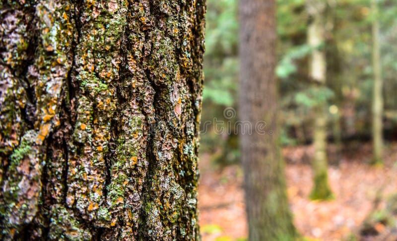 Árbol grande en bosque delantero fotografía de archivo