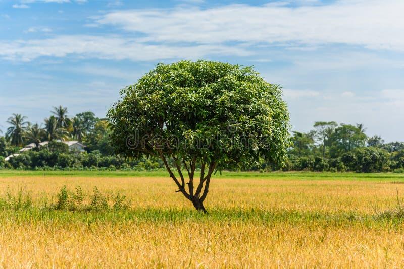 Árbol grande en campo del arroz imagenes de archivo