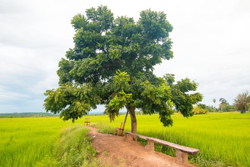 Árbol grande en campo verde del arroz fotografía de archivo libre de regalías