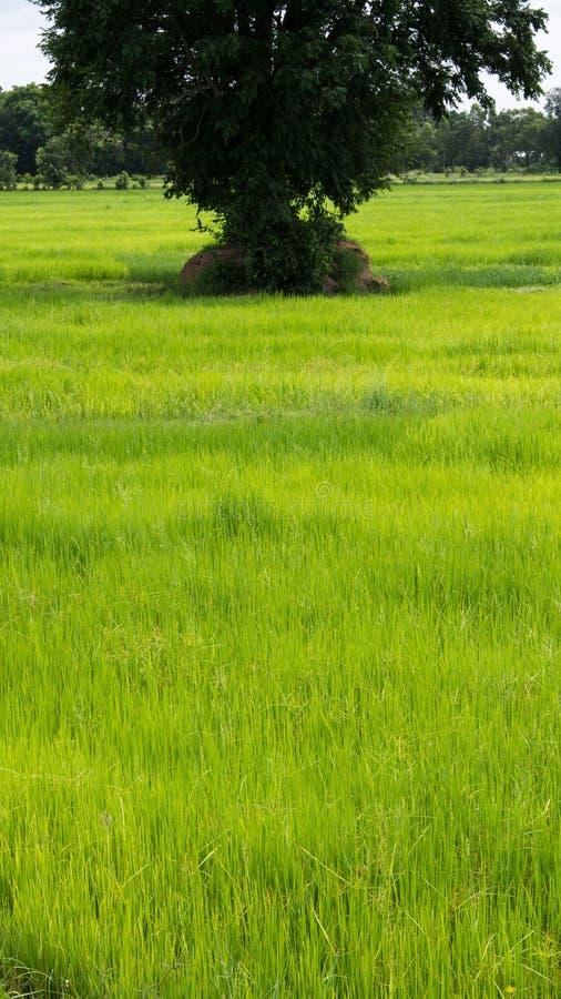 Árbol grande en el arroz imágenes de archivo libres de regalías