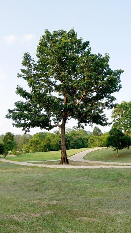 Árbol grande en el césped verde, naturaleza verde fotos de archivo libres de regalías