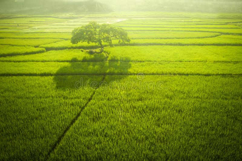 Árbol grande en el campo verde del arroz en la mañana imagen de archivo libre de regalías