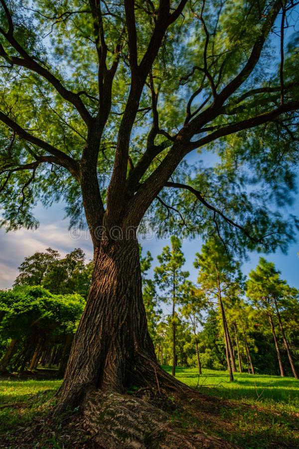 Árbol grande en el parque, Shangai, China fotos de archivo