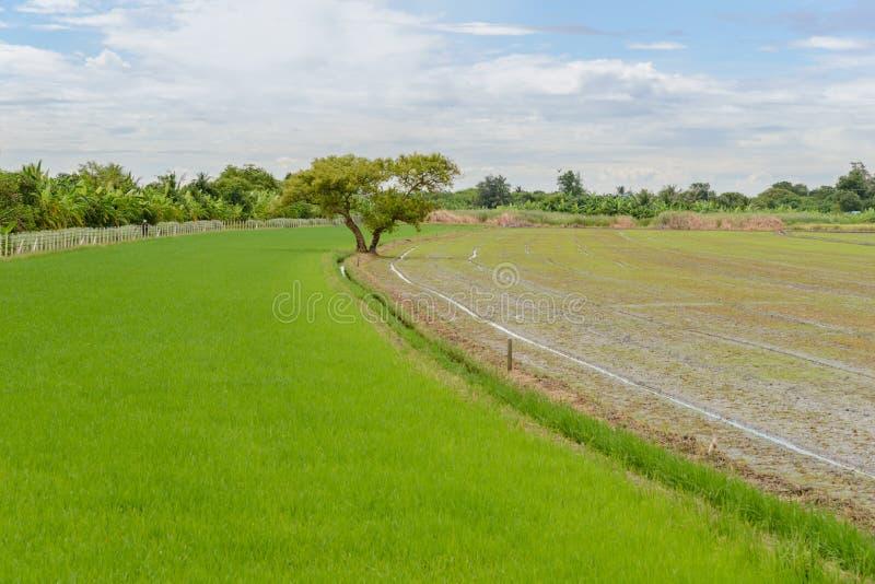 Árbol grande entre el campo del arroz imagen de archivo