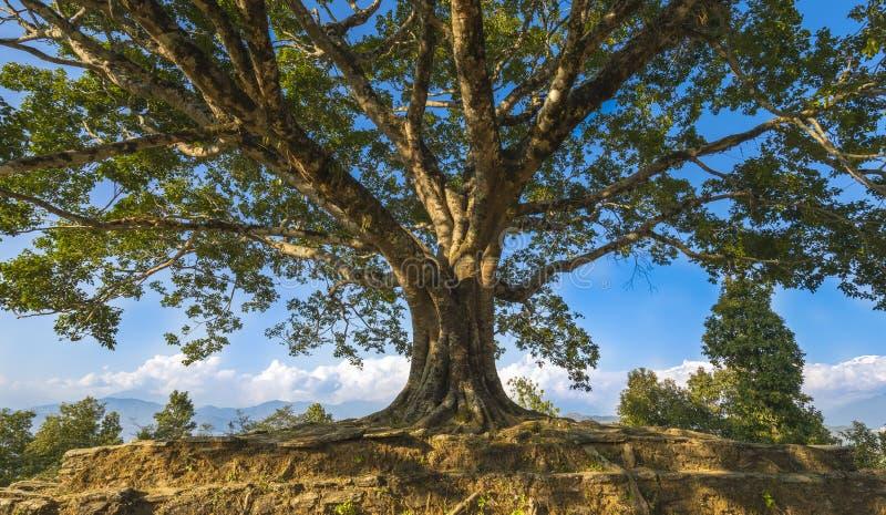 Árbol grande hermoso de PAL del pis en Tal Nepal foto de archivo