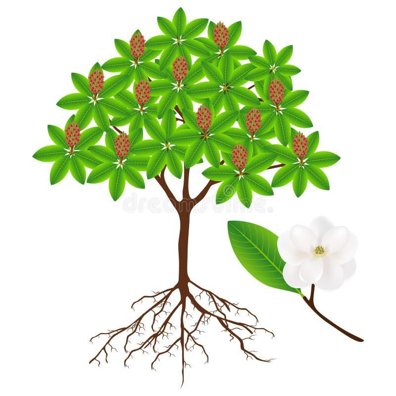 Árbol grandiflora de la magnolia con la fruta y la ramita con la flor libre illustration