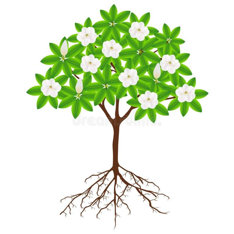 Árbol grandiflora de la magnolia con las flores y las raíces en un fondo blanco libre illustration