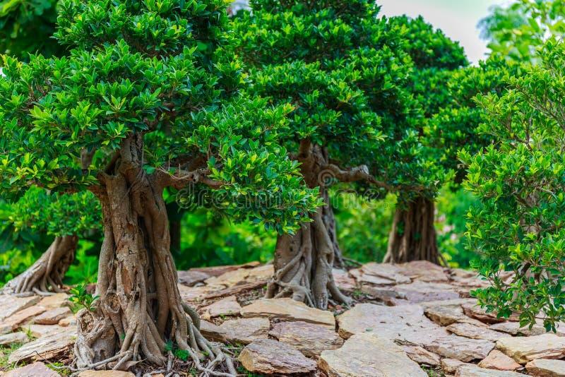 Árbol hermoso de los bonsais fotografía de archivo