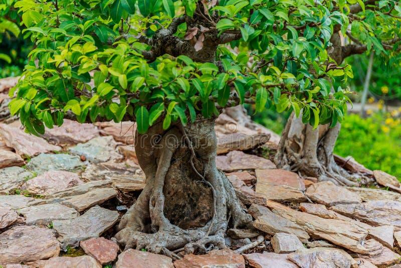 Árbol hermoso de los bonsais fotos de archivo libres de regalías