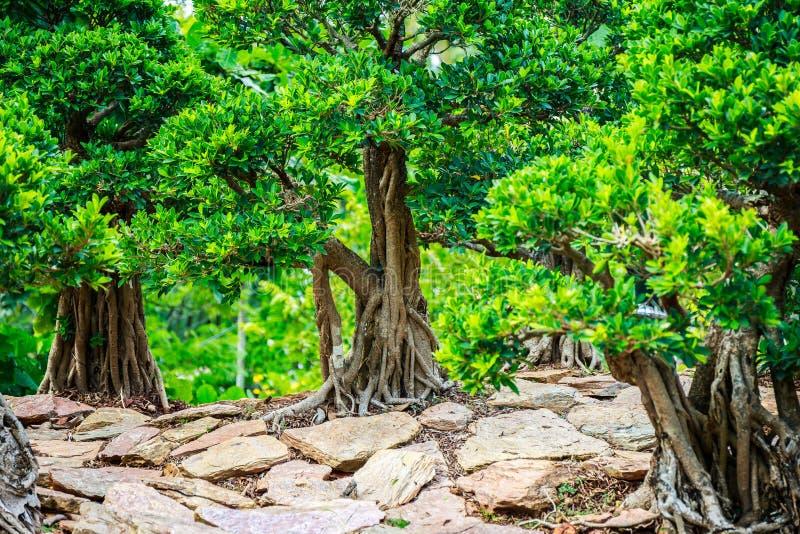 Árbol hermoso de los bonsais imágenes de archivo libres de regalías