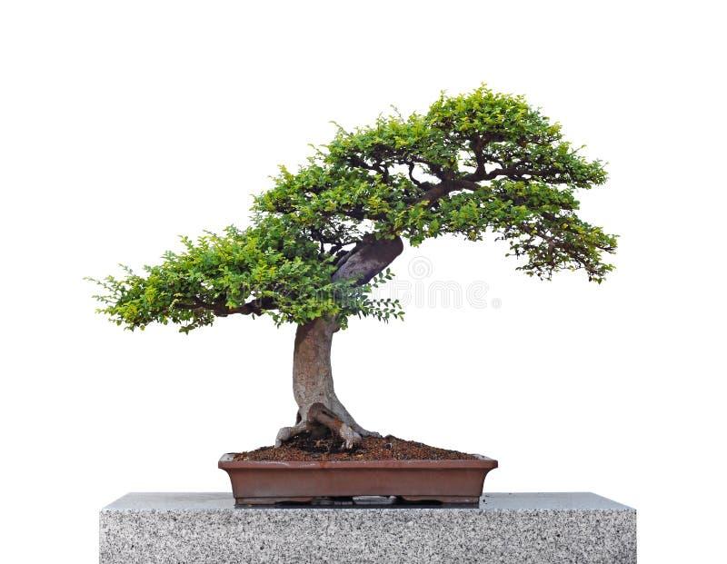 Árbol hermoso de los bonsais aislado en blanco fotos de archivo libres de regalías