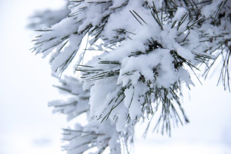 Árbol hermoso del invierno Ciérrese encima de los detalles en el brunch de las agujas del pino cubierto con nieve en la estación  fotos de archivo libres de regalías