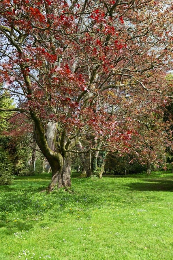 Árbol hojeado rojo en una huerta en primavera fotos de archivo
