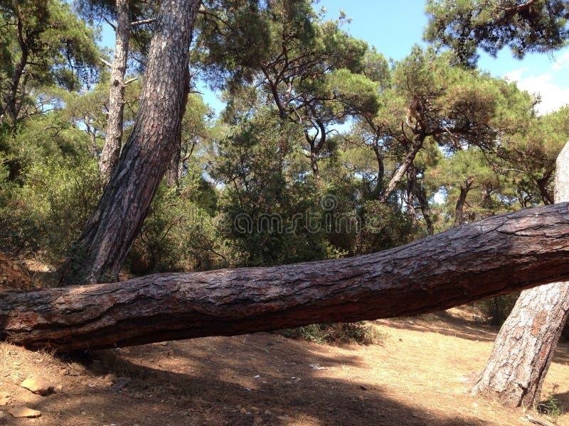 árbol horizontal en el bosque fotografía de archivo libre de regalías