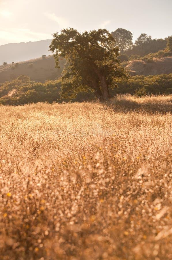 Árbol idílico del prado y de roble en la puesta del sol fotos de archivo
