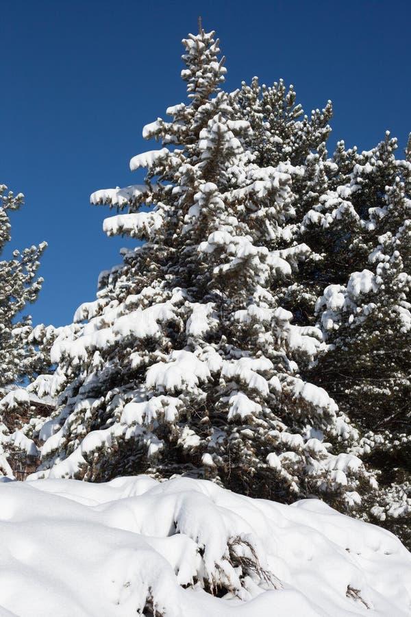 Árbol imperecedero con nieve en ramas fotografía de archivo libre de regalías