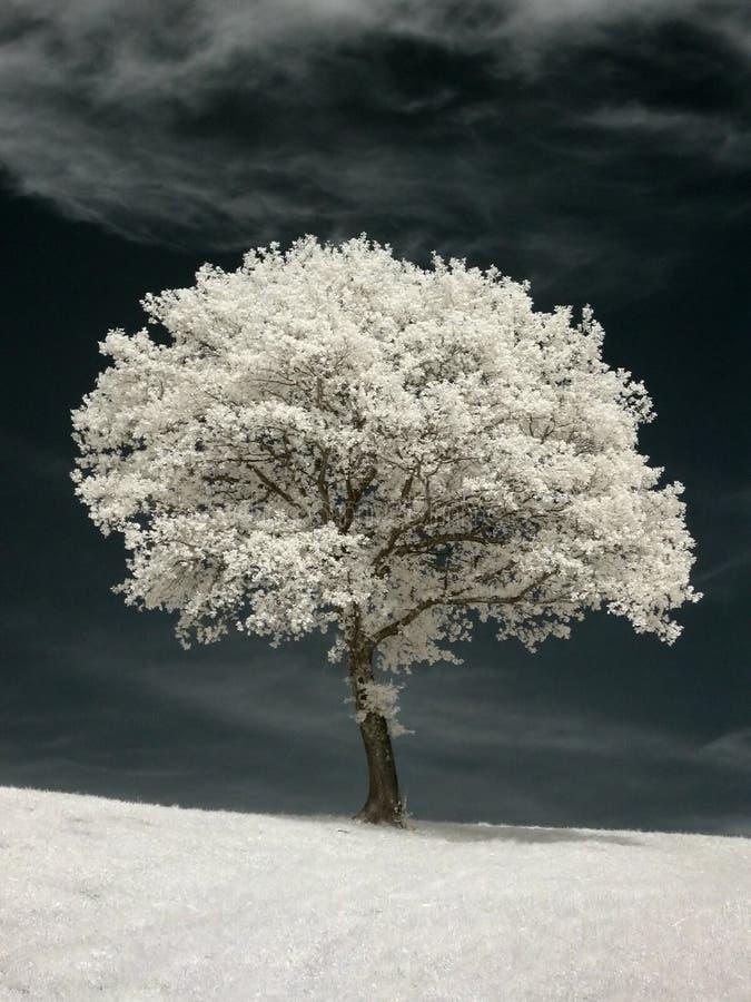 Árbol infrarrojo imagen de archivo libre de regalías