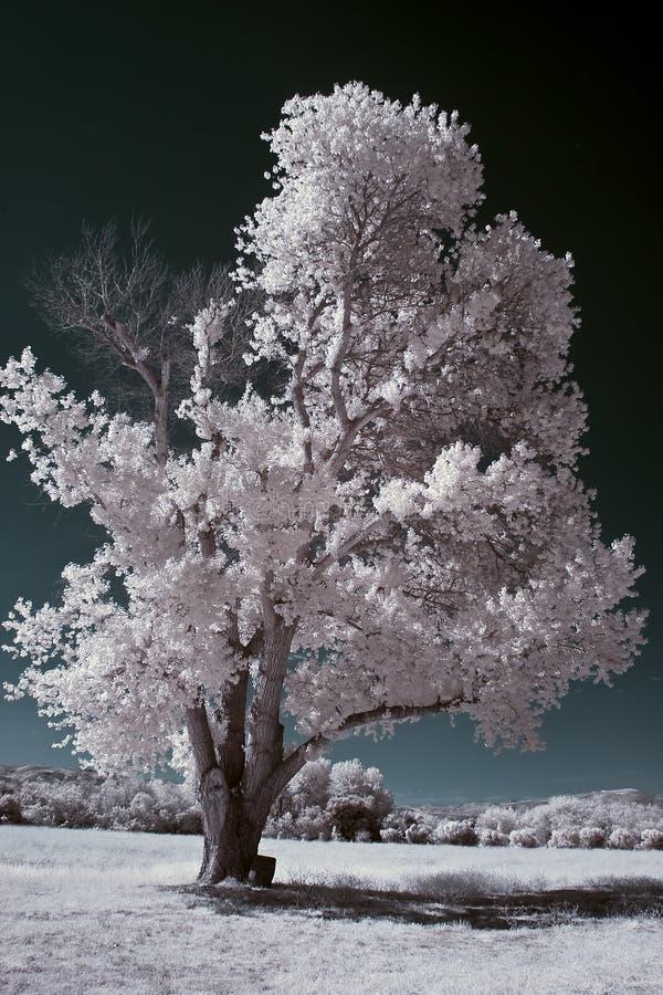 Árbol infrarrojo fotos de archivo