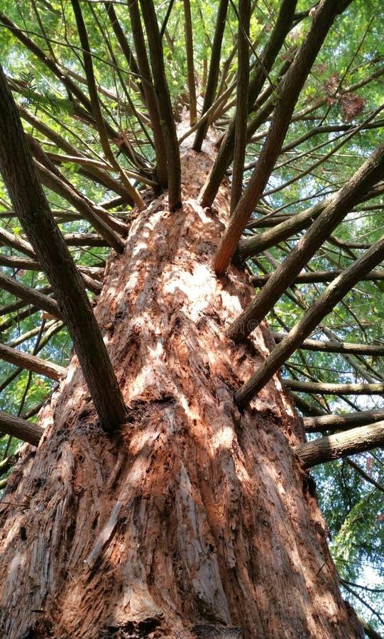 Árbol joven de la secoya foto de archivo