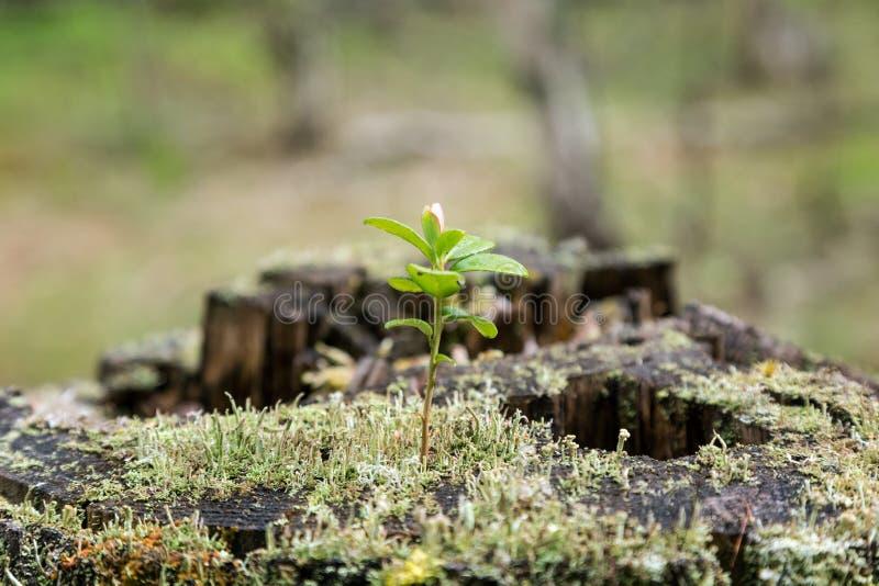 Árbol joven, musgo y liquen del Lingonberry en un tocón imagen de archivo libre de regalías