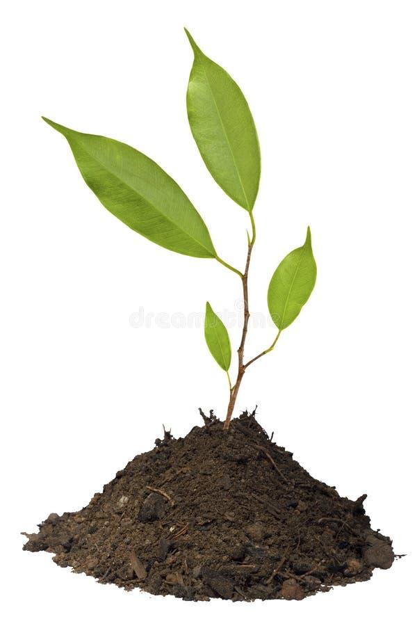 Árbol joven que crece en el suelo aislado imagen de archivo