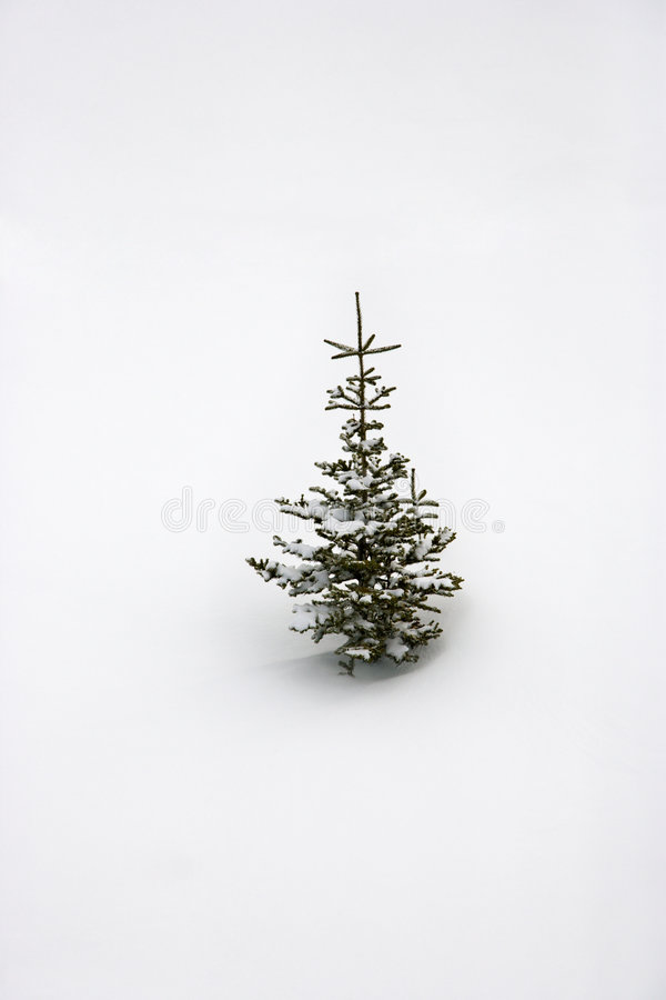 Árbol joven solitario del pino en nieve. imagen de archivo libre de regalías