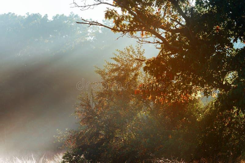 Árbol mágico con los rayos del sol por la mañana Bosque asombroso en niebla Paisaje colorido con el bosque de niebla, bosque de l foto de archivo libre de regalías