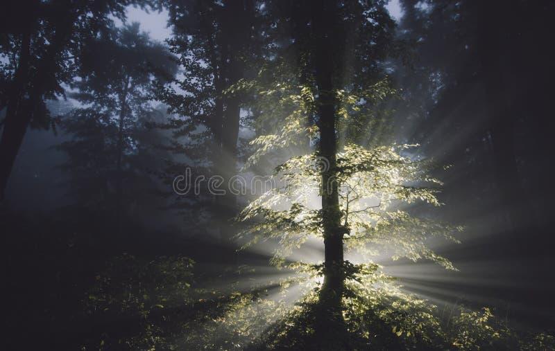 Árbol mágico en bosque misterioso en la noche imagenes de archivo