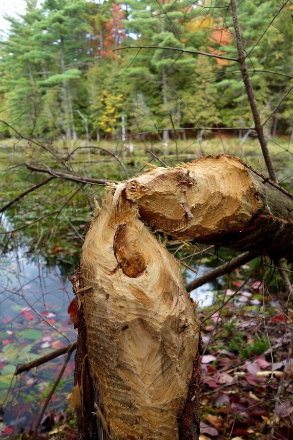 Árbol masticado y derribado por el castor imagen de archivo