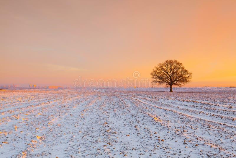 Árbol memorable en el campo por la mañana escarchada foto de archivo libre de regalías