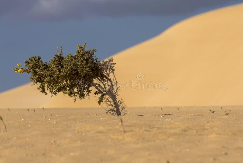 Árbol minúsculo en el desierto foto de archivo