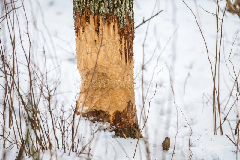 Árbol mordido castor fotografía de archivo