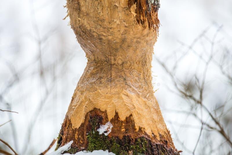 Árbol mordido castor foto de archivo libre de regalías