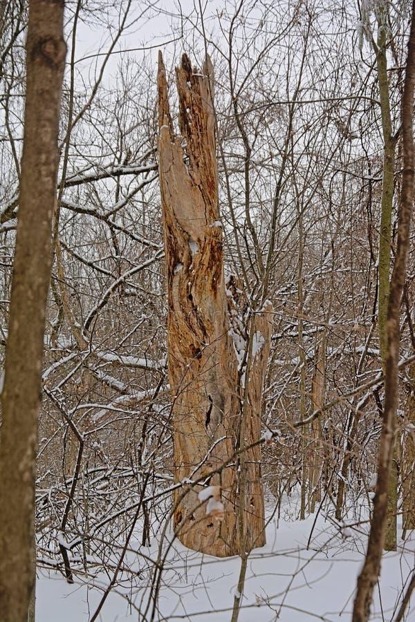 Árbol muerto agrietado en un bosque del invierno con nieve imagen de archivo