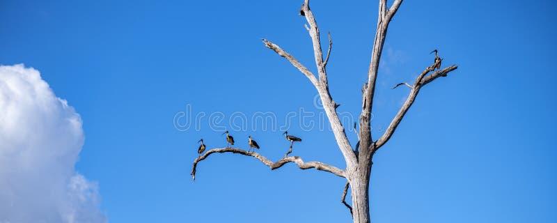 Árbol muerto con los pájaros necked de Ibis de la paja imágenes de archivo libres de regalías