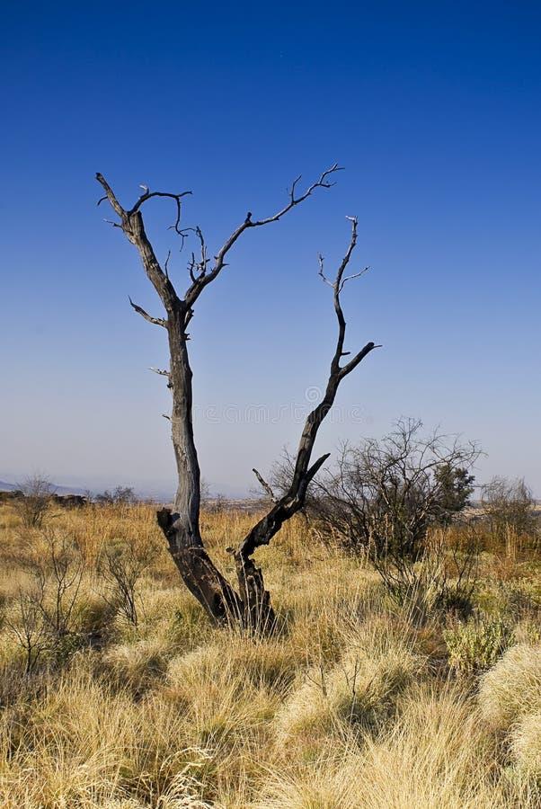 Árbol muerto en Bushveld imagen de archivo