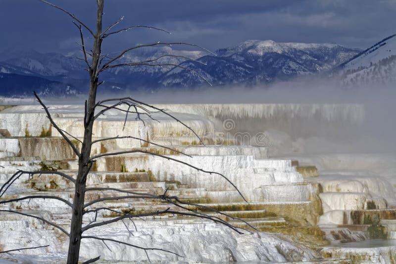 Árbol muerto en el lavabo de la parte superior de Mammoth Hot Springs fotografía de archivo