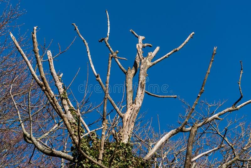 Árbol muerto en invierno contra un cielo azul brillante fotos de archivo