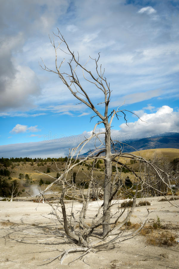 Árbol muerto en Mammoth Hot Springs imagen de archivo