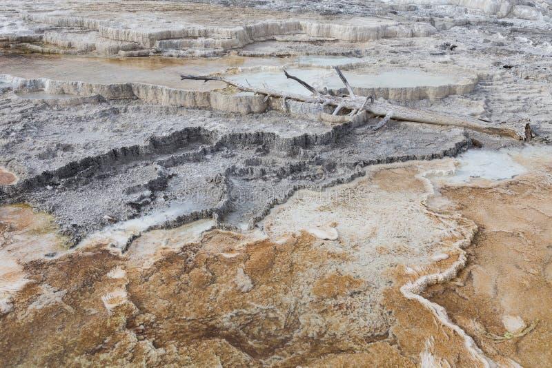 Árbol muerto en Mammoth Hot Springs fotos de archivo libres de regalías