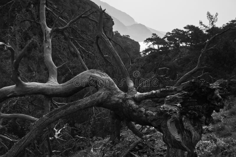 Árbol muerto en un acantilado en la garganta de Lissos con objeto de la costa costa cerca de Sougia, costa del sudoeste de la isl imagen de archivo